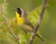 Common_Yellothroat_Bird
